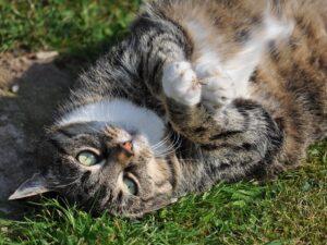 Foder til steriliserede katte
